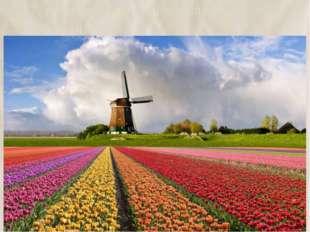 17. родиной тюльпанов является Голландия 