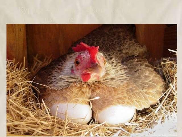 2.Курица –наседка – заботится только о будущих цыплятах 