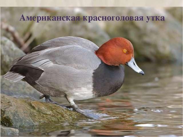 Американская красноголовая утка