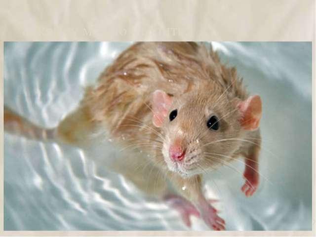 8. крысу можно утопить. 