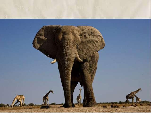 20. Самое сильное наземное животное -африканский слон. 