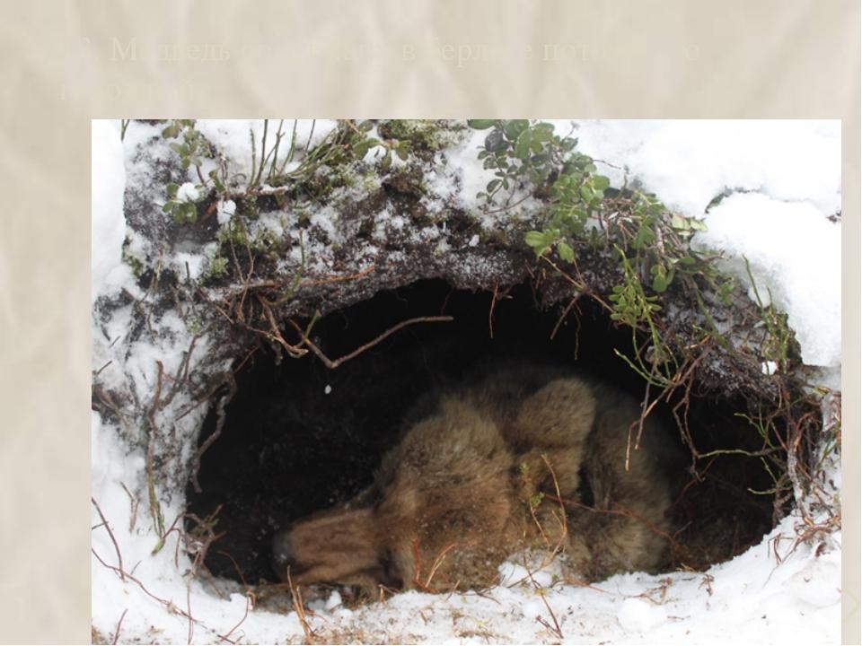 13. Медведь сосёт лапу в берлоге потому что голодный 