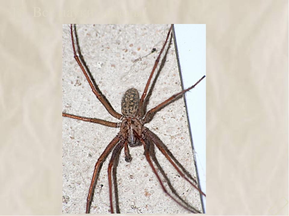15. Все пауки опасны! 