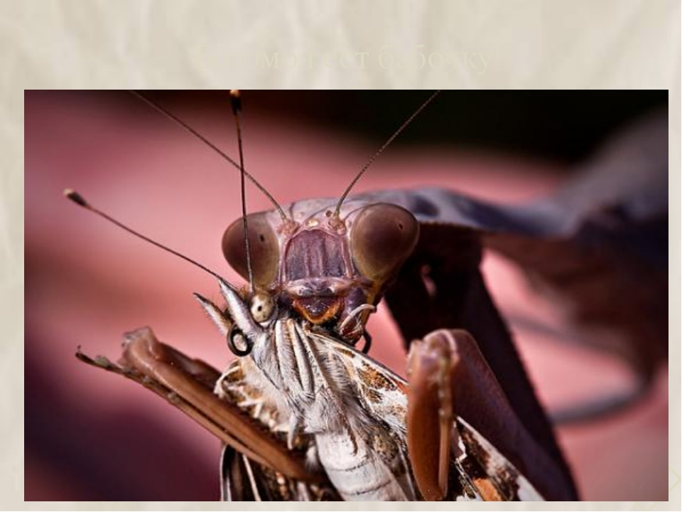 Богомол ест бабочку 