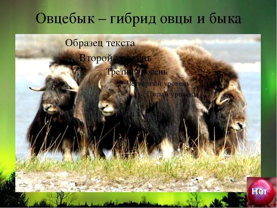 Овцебык – гибрид овцы и быка Нет