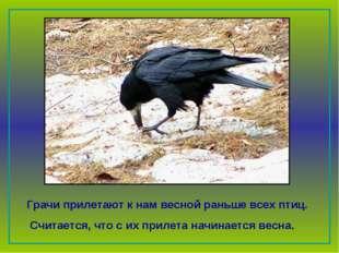 Грачи прилетают к нам весной раньше всех птиц. Считается, что с их прилета н