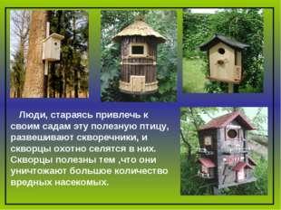 Люди, стараясь привлечь к своим садам эту полезную птицу, развешивают скворе