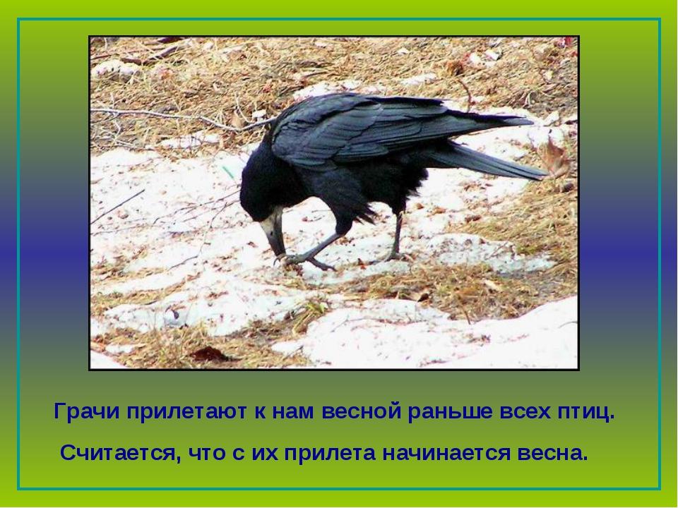 Грачи прилетают к нам весной раньше всех птиц. Считается, что с их прилета н...