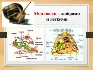 Моллюски – жабрами и легкими