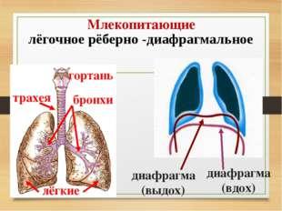 Млекопитающие лёгочное рёберно -диафрагмальное гортань трахея бронхи лёгкие д