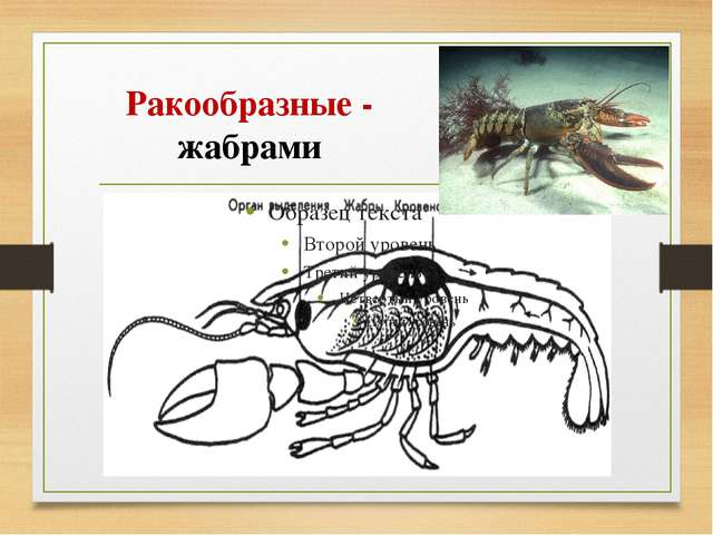 Ракообразные - жабрами