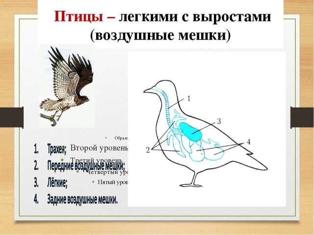 Птицы – легкими с выростами (воздушные мешки)