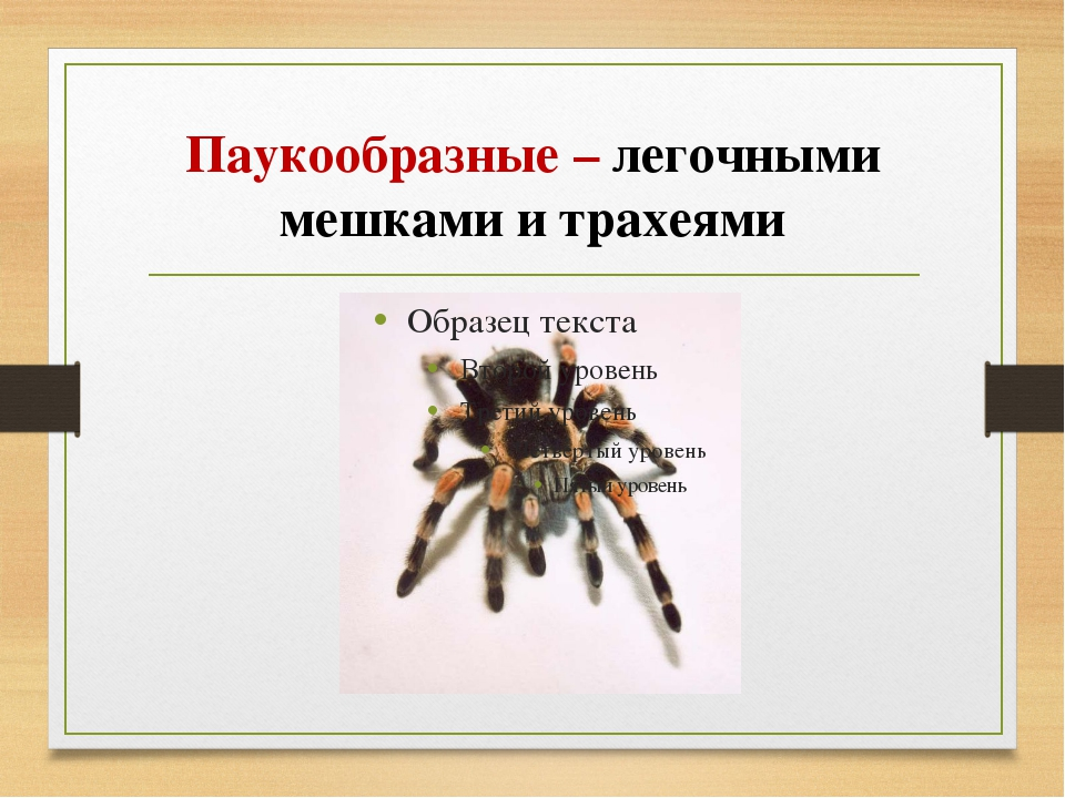 Паукообразные – легочными мешками и трахеями