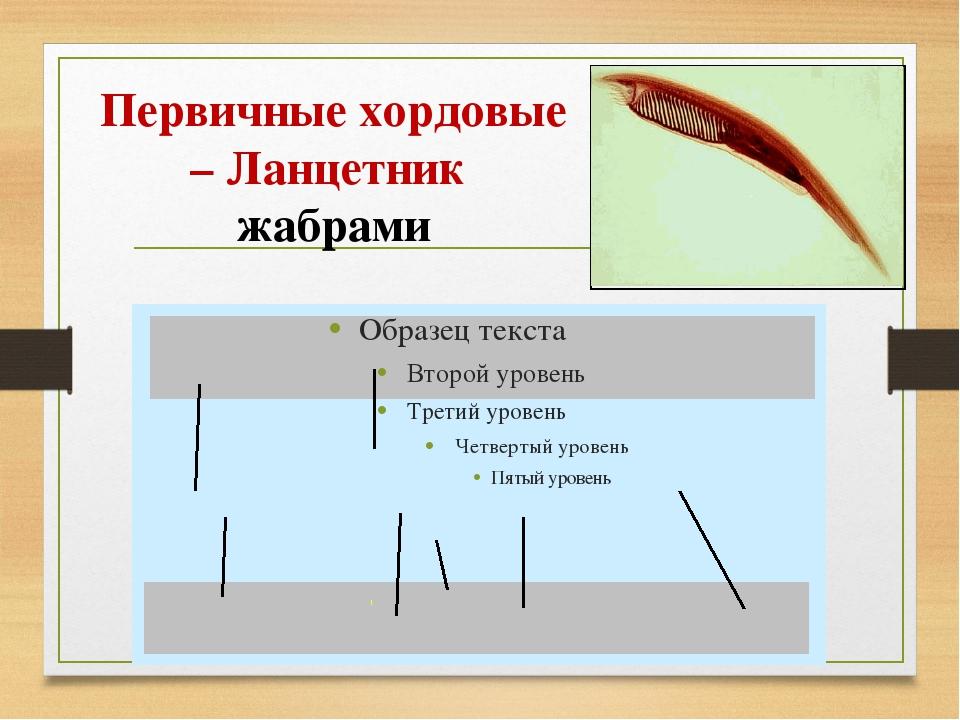Первичные хордовые – Ланцетник жабрами
