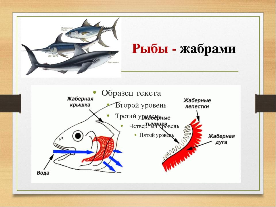 Рыбы - жабрами