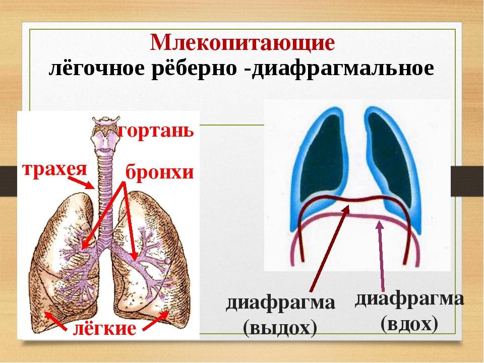 Млекопитающие лёгочное рёберно -диафрагмальное гортань трахея бронхи лёгкие д...
