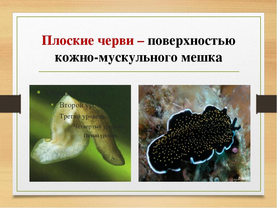 Плоские черви – поверхностью кожно-мускульного мешка
