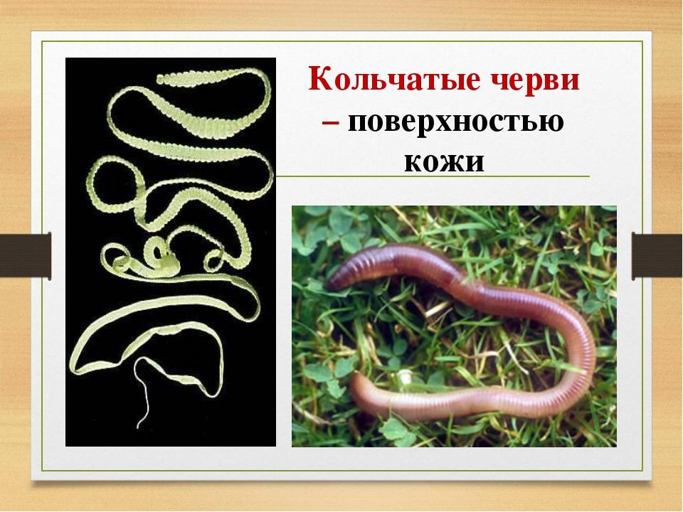 Кольчатые черви – поверхностью кожи
