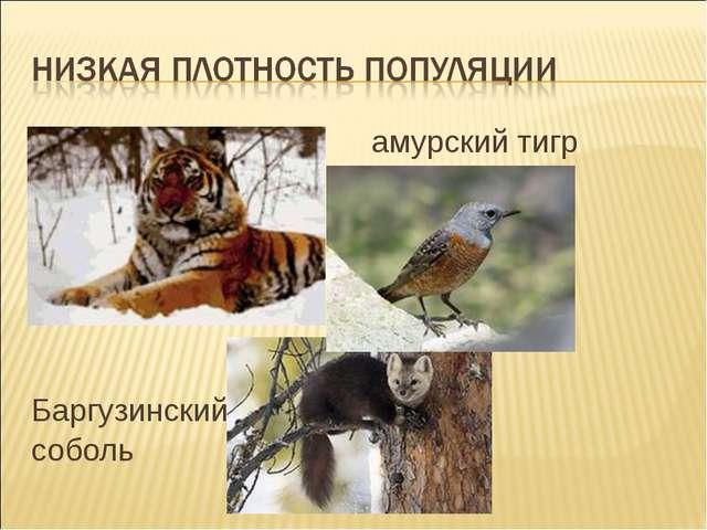 амурский тигр дрозд Баргузинский соболь