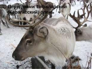 Перед вами Тофаларский (Карагасский) олень