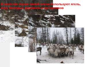 В качестве корма зимой олени используют ягель, кору молодых деревьев и кустар