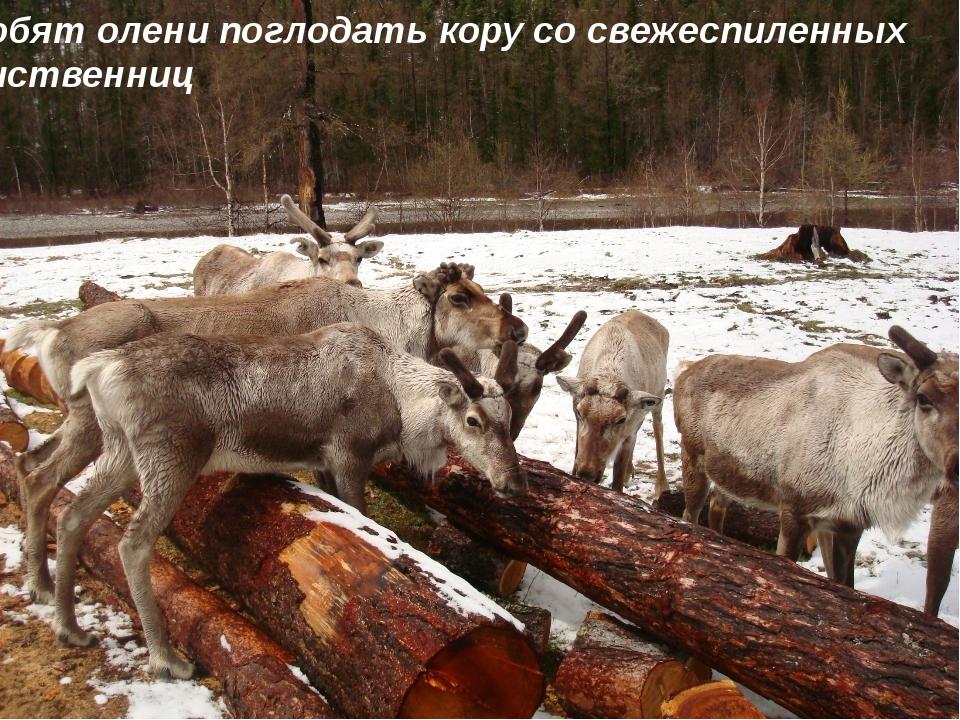Любят олени поглодать кору со свежеспиленных лиственниц