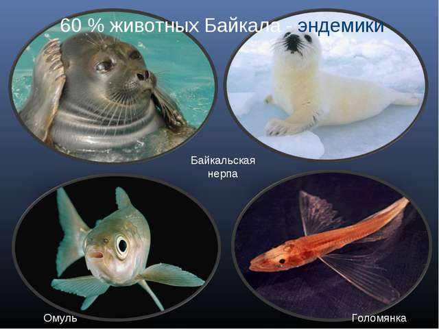 Байкальская нерпа Омуль Голомянка 60 % животных Байкала - эндемики