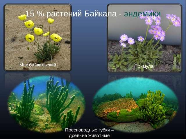 Примула Мак байкальский Пресноводные губки – древние животные 15 % растений Б...