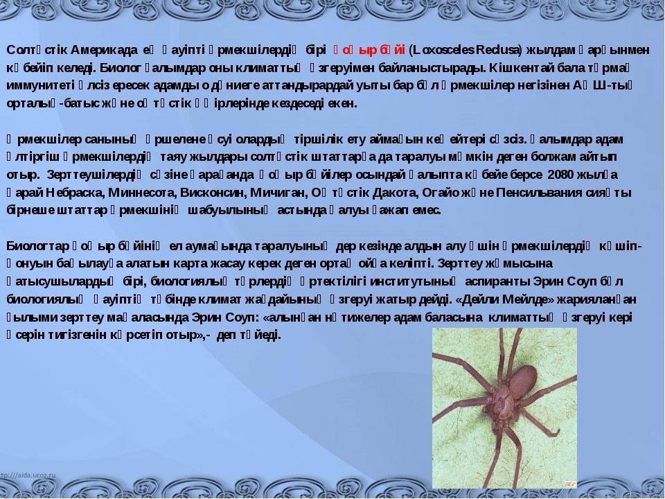 Солтүстік Америкада ең қауіпті өрмекшілердің бірі қоңыр бүйі (Loxosceles R...