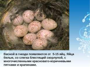 Весной в гнезде появляются от 5-15 яйц. Яйца белые, со слегка блестящей скорл