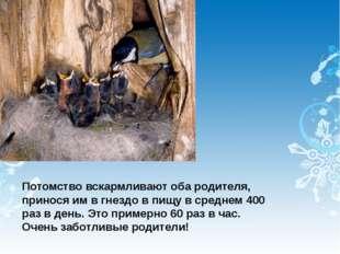 Потомство вскармливают оба родителя, принося им в гнездо в пищу в среднем 400