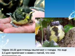; Через 16-22 дня птенцы вылетают с гнезда. Но еще 2,3 дня прилетают к маме