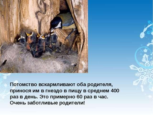 Потомство вскармливают оба родителя, принося им в гнездо в пищу в среднем 400...