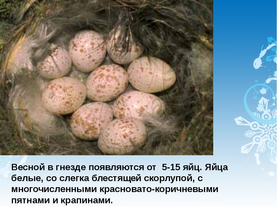Весной в гнезде появляются от 5-15 яйц. Яйца белые, со слегка блестящей скорл...