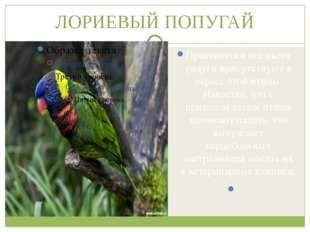 ЛОРИЕВЫЙ ПОПУГАЙ Практически все цвета радуги присутствуют в окрасе этой птиц