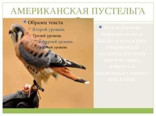 АМЕРИКАНСКАЯ ПУСТЕЛЬГА Этот вид можно встретить на всем Западном полушарии. А