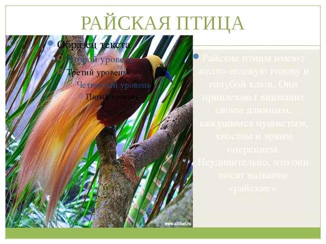 РАЙСКАЯ ПТИЦА Райские птицы имеют желто-зеленую голову и голубой клюв. Они пр...