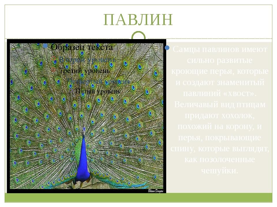 ПАВЛИН Самцы павлинов имеют сильно развитые кроющие перья, которые и создают...