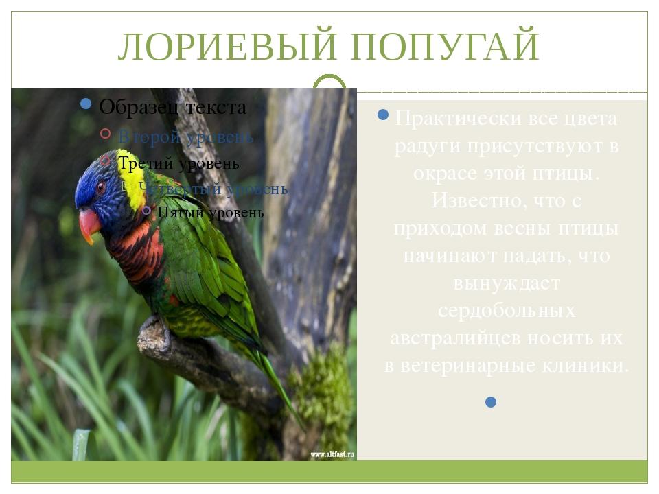 ЛОРИЕВЫЙ ПОПУГАЙ Практически все цвета радуги присутствуют в окрасе этой птиц...