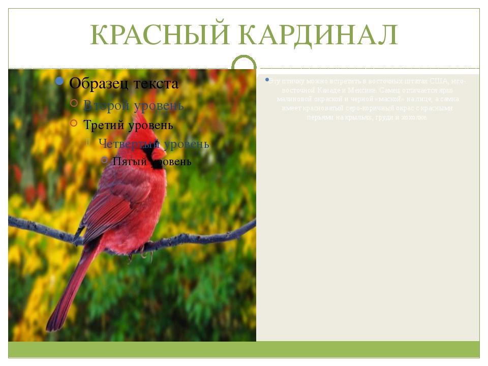 КРАСНЫЙ КАРДИНАЛ Эту птичку можно встретить в восточных штатах США, юго-восто...
