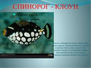 СПИНОРОГ - КЛОУН Обитает в Индийском океане. Имеет очень яркую окраску. Перва