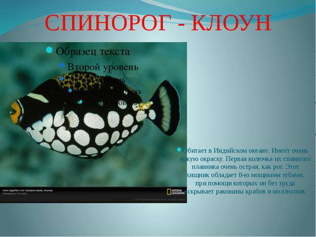 СПИНОРОГ - КЛОУН Обитает в Индийском океане. Имеет очень яркую окраску. Перва...