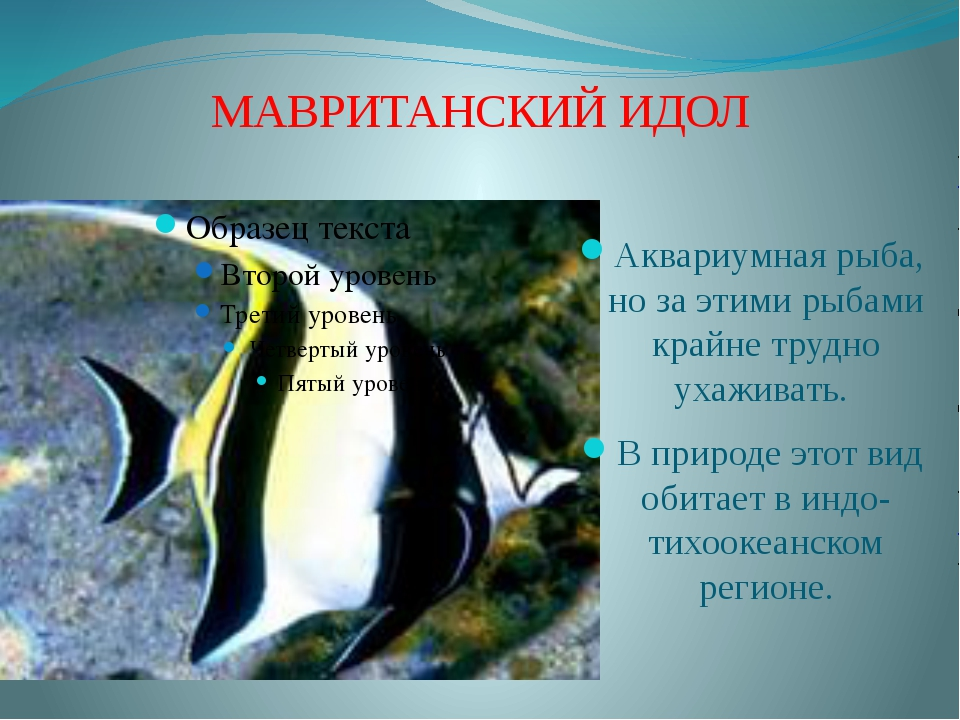 МАВРИТАНСКИЙ ИДОЛ Аквариумная рыба, но за этими рыбами крайне трудно ухаживат...