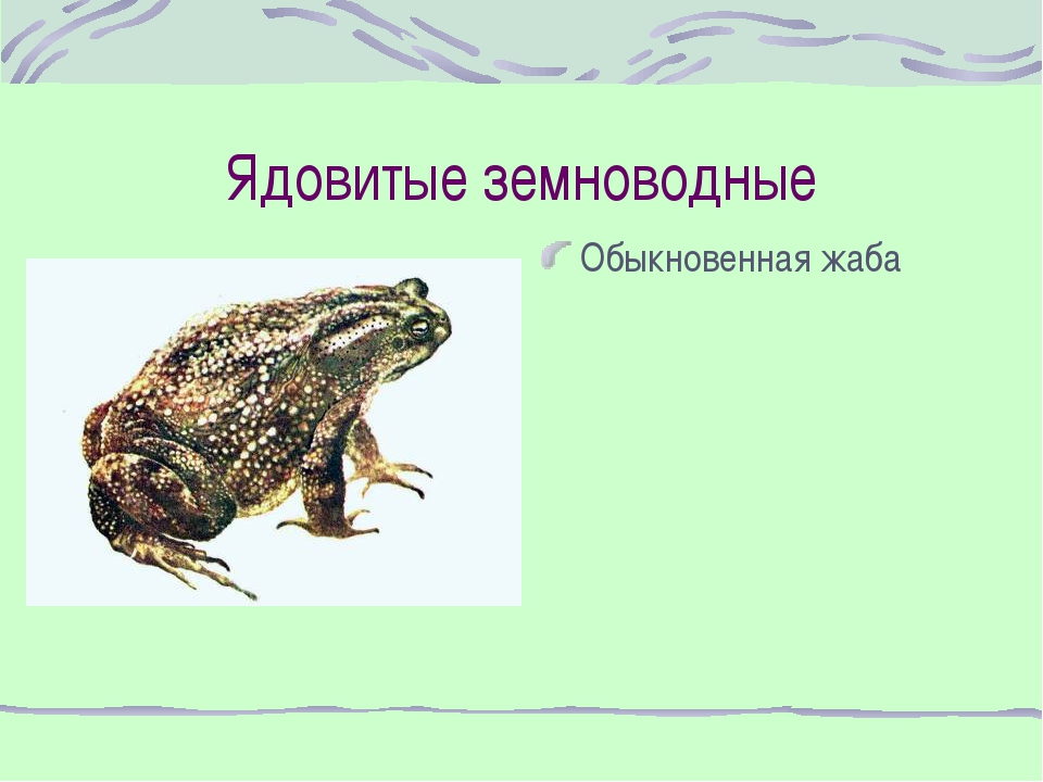 Ядовитые земноводные Обыкновенная жаба