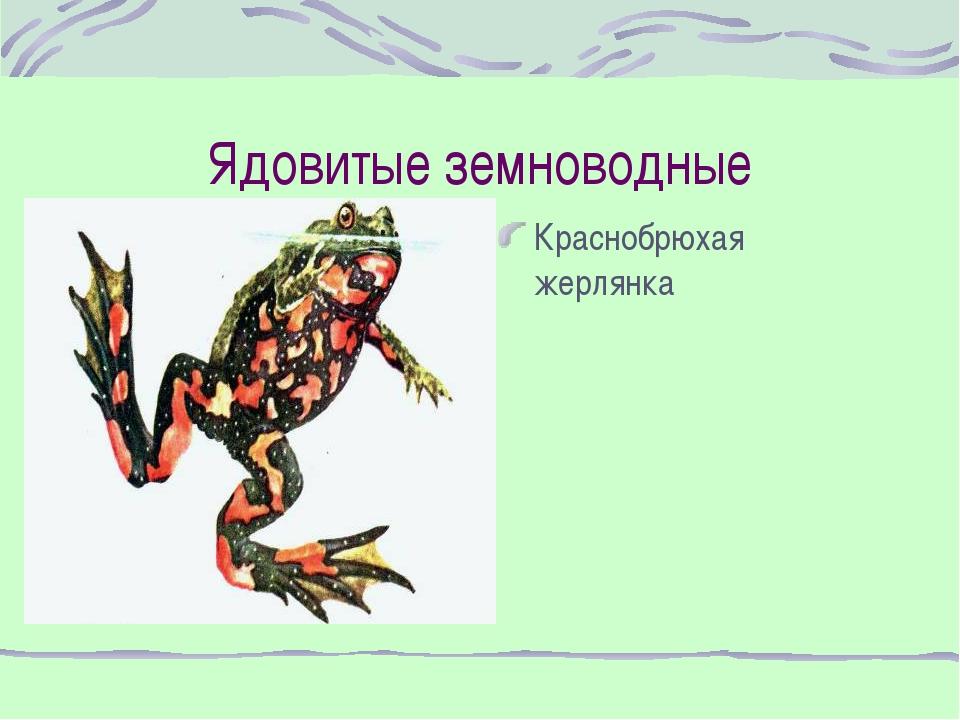 Ядовитые земноводные Краснобрюхая жерлянка