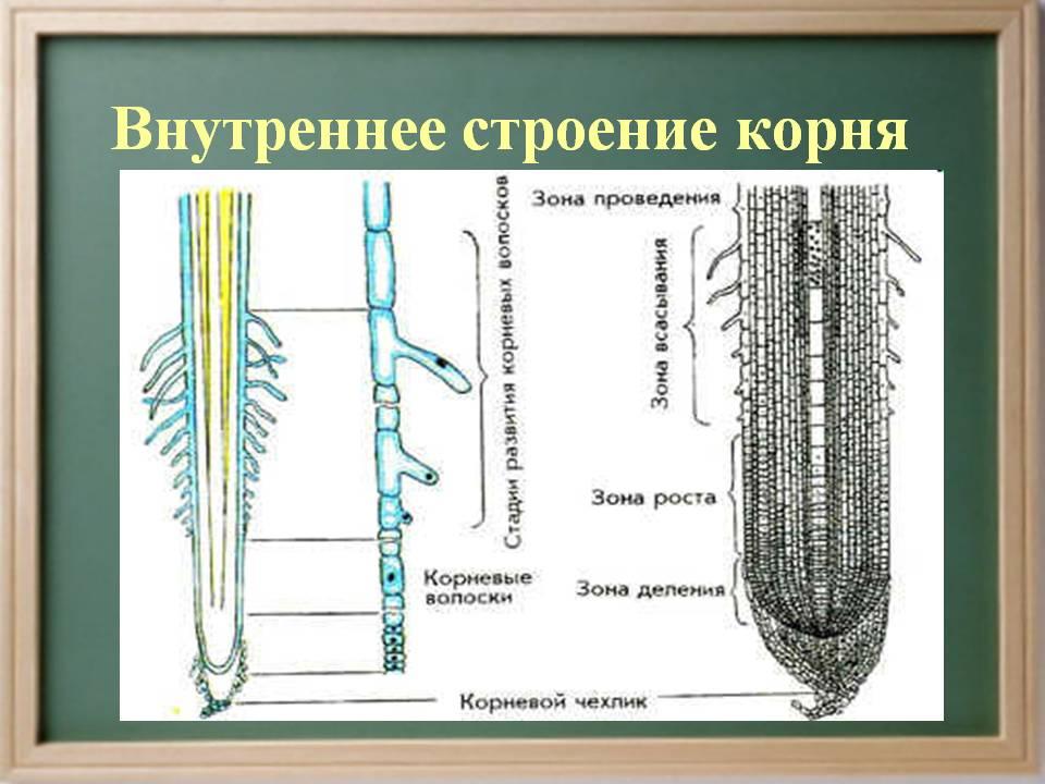 http://900igr.net/datas/biologija/Koren-rastenija/0017-017-Vnutrennee-stroenie-kornja.jpg