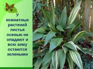 У комнатных растений листья осенью не опадают и всю зиму остаются зелеными