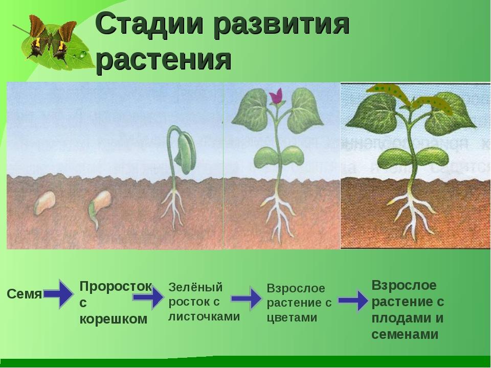 Стадии развития растения Семя Проросток с корешком Зелёный росток с листочкам...