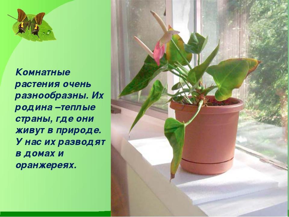 Комнатные растения очень разнообразны. Их родина –теплые страны, где они жив...