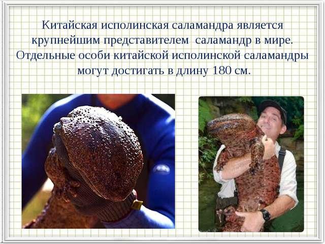 Китайская исполинская саламандра является крупнейшим представителем саламанд...